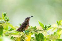 Tacazze Sunbird perched on tree Ethiopia wildlife