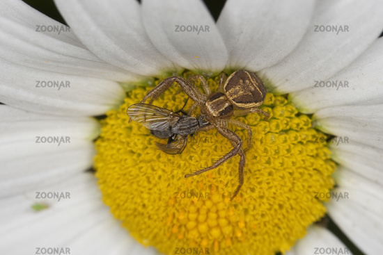 Swamp crab spider
