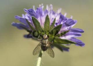 Fliege aus der Familie der Blumenfliegen (Anthomyiidae)