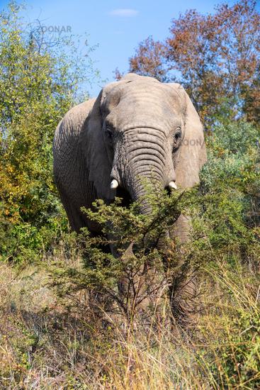 African Elephant in Pilanesberg South Africa wildlife safari.