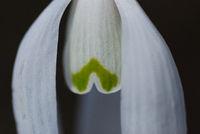 snowdrop flower in macro detail view