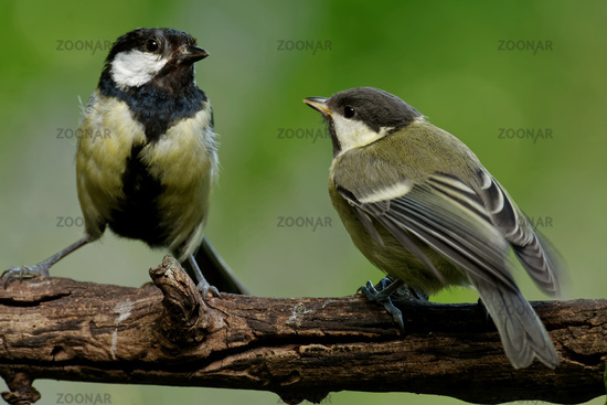 Young great tit gets fed