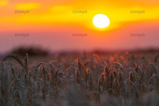 Beautiful sunset with wheat field