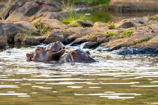 wild hippo, South Africa Safari wildlife