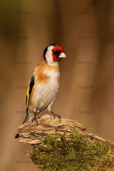 Eropean goldfinch sitting on mossed wood in winter