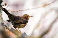 Female Blackbird in a tree