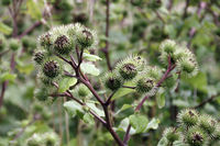 Flower heads of Greater burdock, Arctium lappa