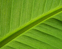Banana Leaf macro background structure