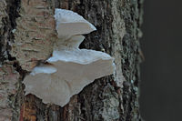 Bitter bracket (Amaropostia stiptica)