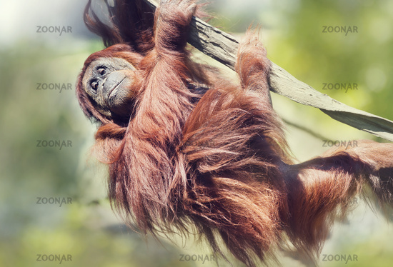 Orangutan on the tree.