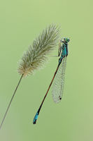 Damselfly (Coenagrion)