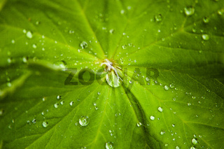 Closeup of clear waterdrops causght on hairy garden flower leaf
