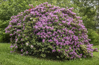 Bush of a rhododendron in the city park of Muenchberg