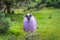 Sheep or ram with multicoloured fur and horns