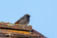bird black redstart, Europe wildlife