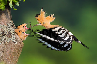 Family of eurasian hoopoe breeding in nesting season in summer nature at sunrise