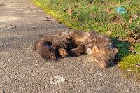 A dead beech marten lies on the roadside in front of grass in the sun
