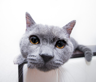 A grey kitten lies on a white background. Cute kitten. British cat. Cover for an album or notebook. Funny cat. Big cat eyes. Isolated cat. Concept of shooting an animal for advertising and puzzles