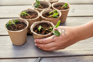 hand and seedlings in starter pots with soil