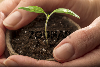 Female hands holding plant pot with tomato seedling - macro shot