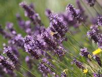 Honeybee flies in a lavender field