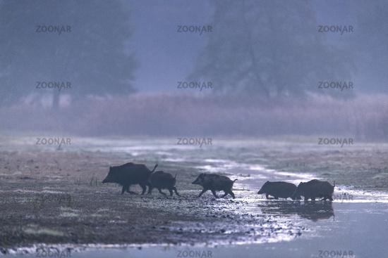 Wild Boar sounder at pondside