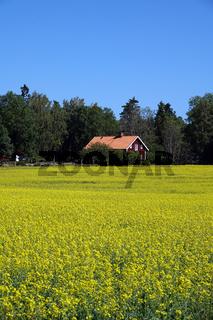 Rapsfeld in Schweden