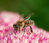 Bee on sedum flower blossoms
