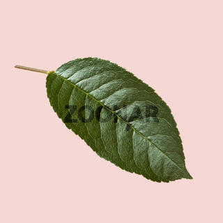Close up view of natural textured green leaf of a cherry tree on a pink background.