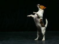 Cute Jack Russell Terrier