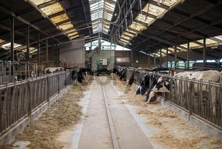 cow inside farmers place