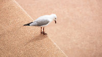 Seagull looks down from a wall