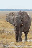 African Elephant in Namibia, Africa safari wildlife