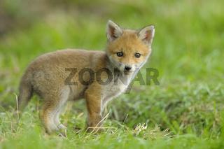 Junger Fuchs, Deutschland
