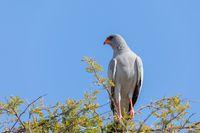 Southern Pale Chanting Goshawk, Namibia safari Africa wildlife