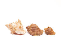 Seashell isolated on a white background. The inhabitants of the sea. Shell with place for text. An article about vacation and vacation at sea.