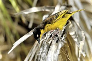 Gelber Webervogel am Nakuru See