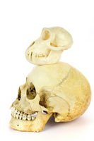 Skull of human and monkey on white background