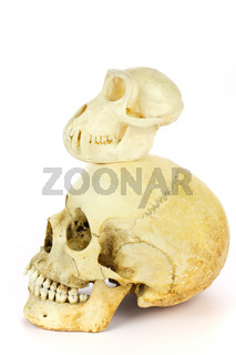 Skull of human and monkey on white background