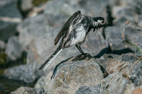 White Wagtail, Motacilla alba bird bathes in a pond and basks on stones under the rays of the summer sun