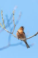 small beautiful bird, common chaffinch