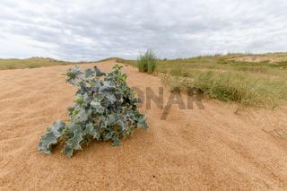 Dunes vith vegetation at the Atlantic coast.