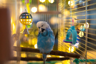 Male blue budgerigar in a cage with toys