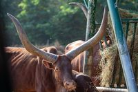 Watusi cattle with huge horns feeds on hay at the trough