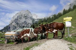 Kühe bei Hintersee, Ramsau bei Berchtesgaden, Bayern, Deutschland