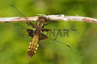 Plattbauchlibelle weiblich