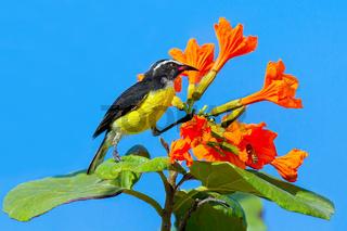 Bananaquit bird on plant with orange flowers