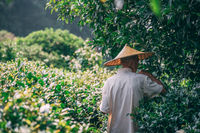 Older man wearing traditional chinese Asian hat collecting tea on a plantation