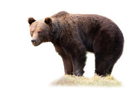 Big brown bear standing on grass isolated on white background.