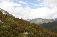 Almrosenblüte in den Ötztaleralpen, Tirol, Tyrol
